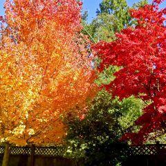 Grün, Orange, Rot: Bäume mit leuchtender Herbstfärbung sorgen für den Indian Summer im Garten