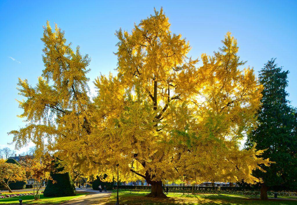 Großer Ginkgo-Baum mit gelbem Herbstlaub