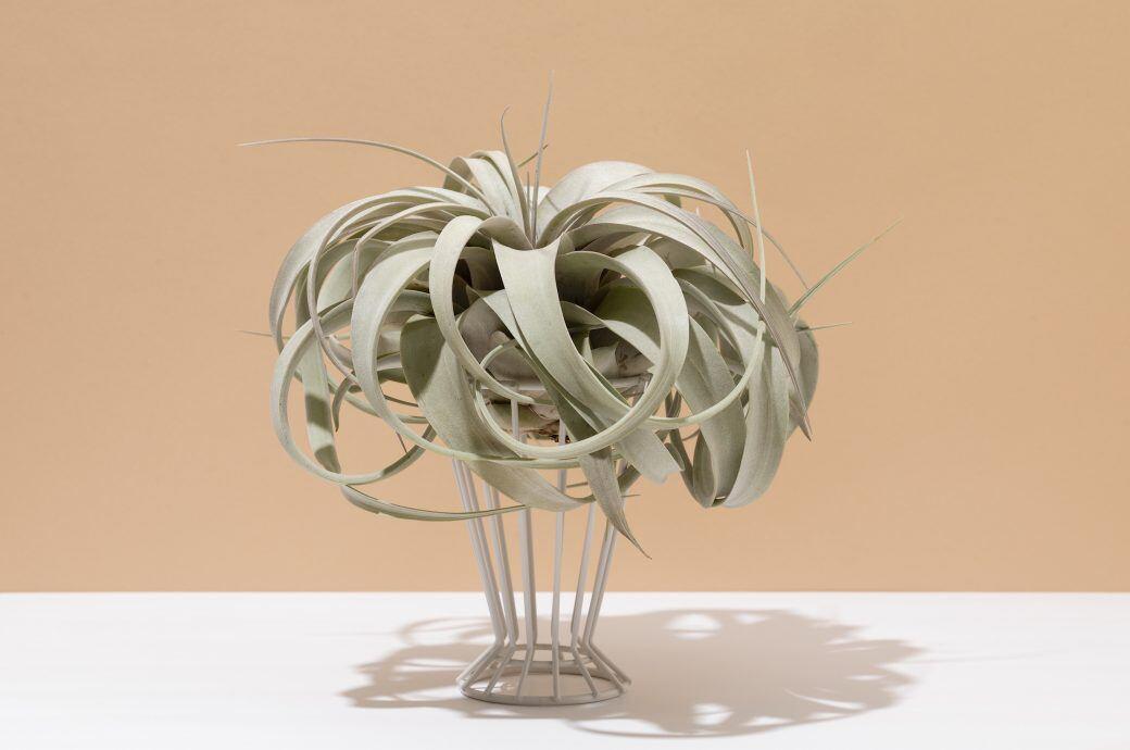 Luftpflanzen zu Hause stylisch präsentieren