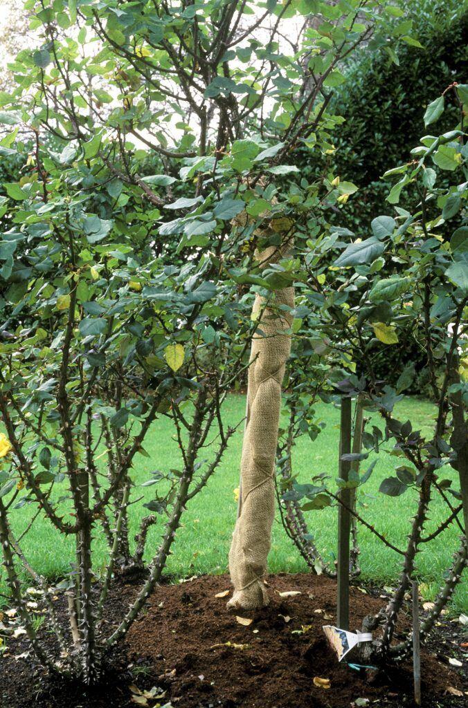 Frostrisse bei jungen Pflanzen im Winter