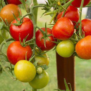 Viele reife sowie noch nicht vollständig gereifte und unreife Tomaten hängen an einer Tomatenpflanze.