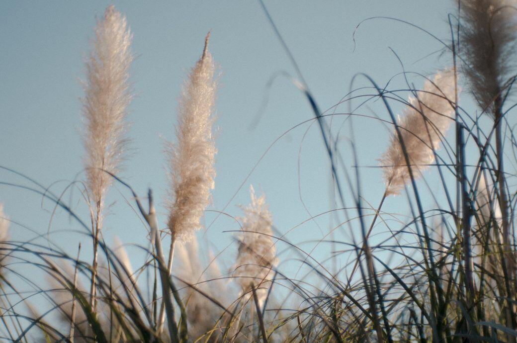 Pampasgras getrocknet