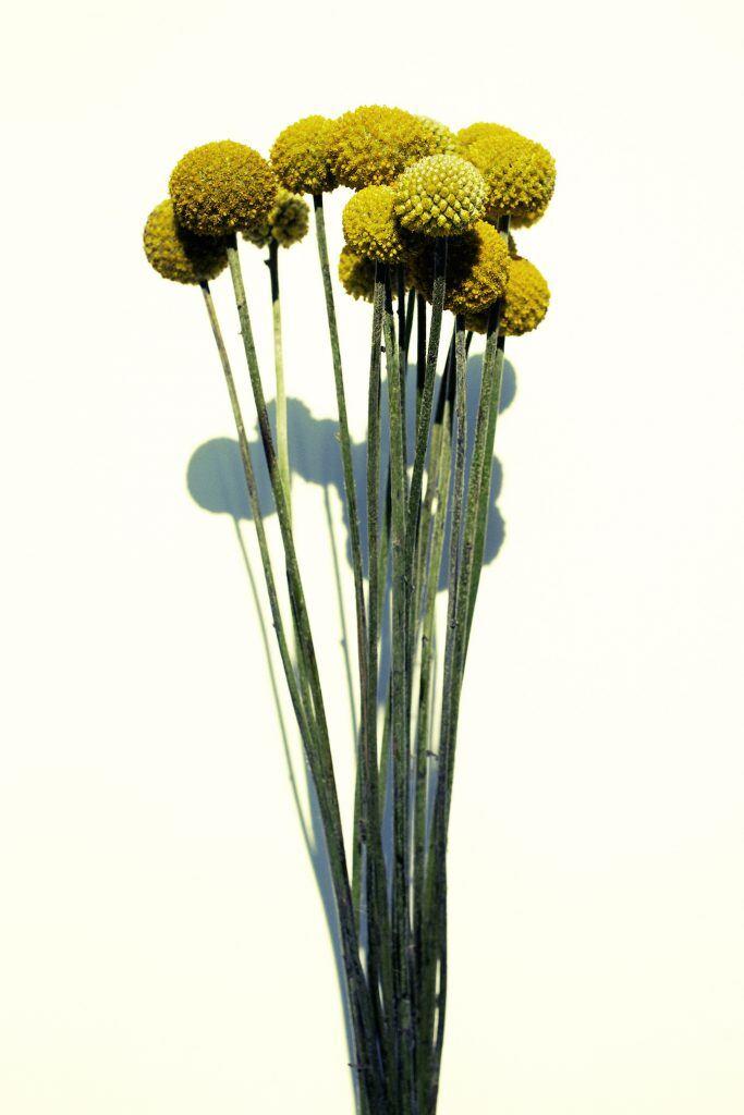 Trommelstöcke als Trockenblumen für zu Hause