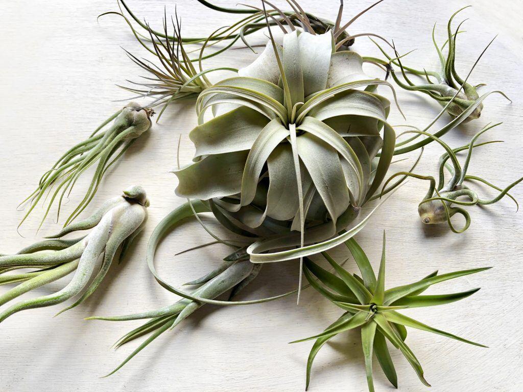 Verschiedene Arten von Luftpflanzen