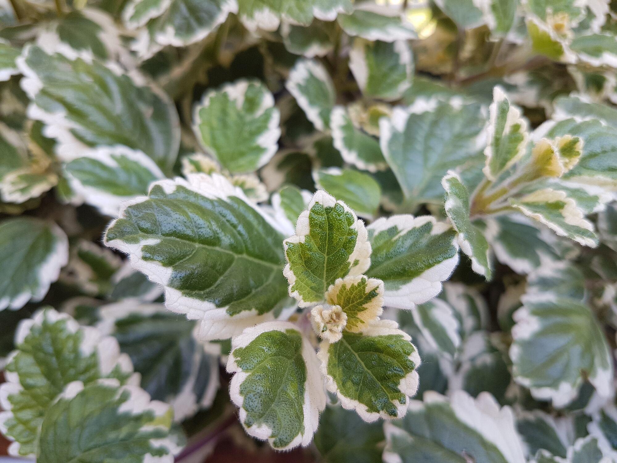 Die Weihrauchpflanze als natürlicher Insektenschutz