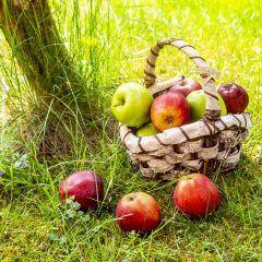 Ein Korb voller gepflückter Äpfel