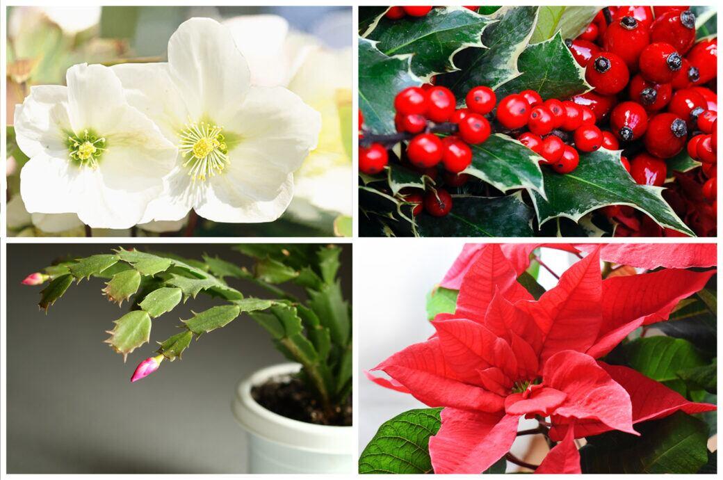 Die schönsten Weihnachtsblumen für drinnen und draußen und was sie bedeuten