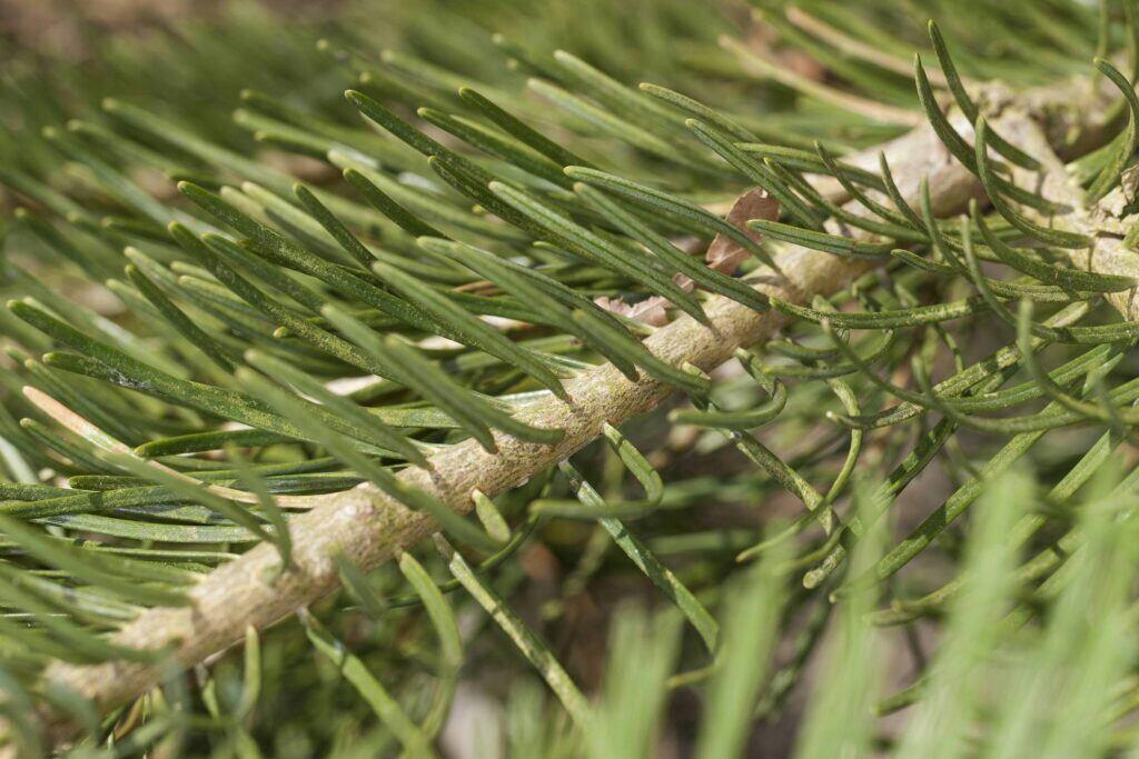 Nadeln am Zweig einer Colorado-Tanne