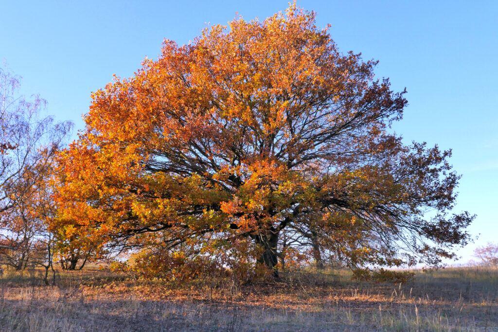 Natur-Kalender: Eiche im Herbstlicht