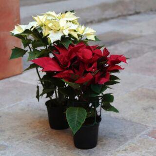 Weihnachtsstern in anderen Farben kaufen und richtig pflegen