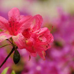 Mit der richtigen Pflege können Azaleen lange blühen