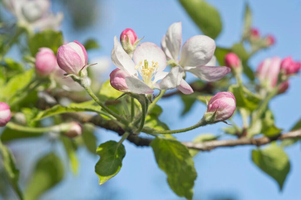 Natur-Kalender: Zart rosa Apfelbaumblüten