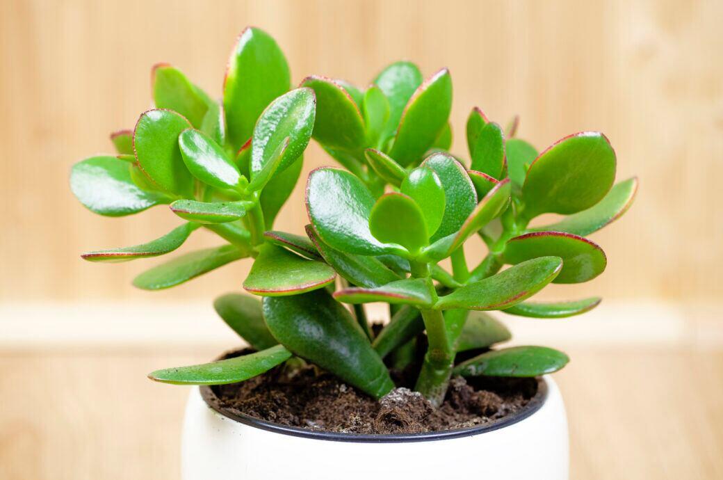 Diese Zimmerpflanzen sollen Glück bringen