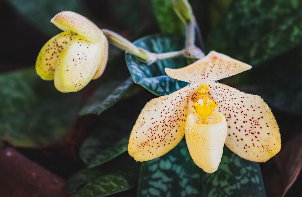 Orchideen bringen Glück in der Wohnung