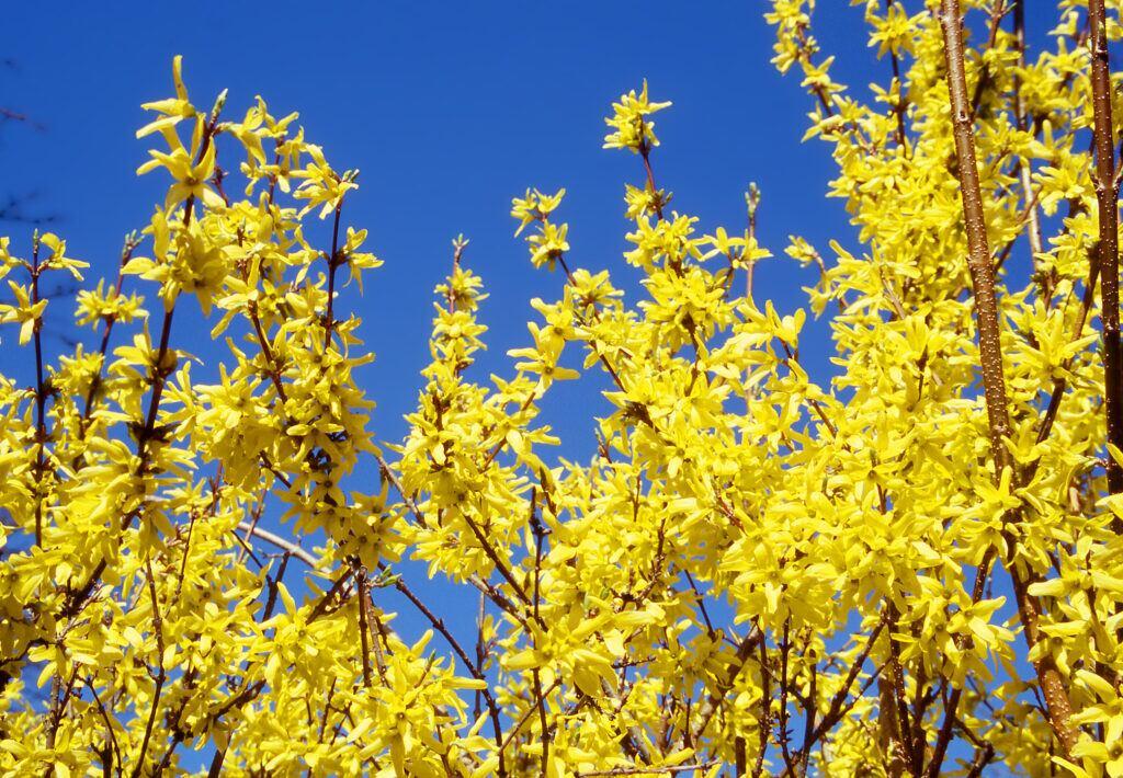 Gelb leuchtende Blüten der Forsythie