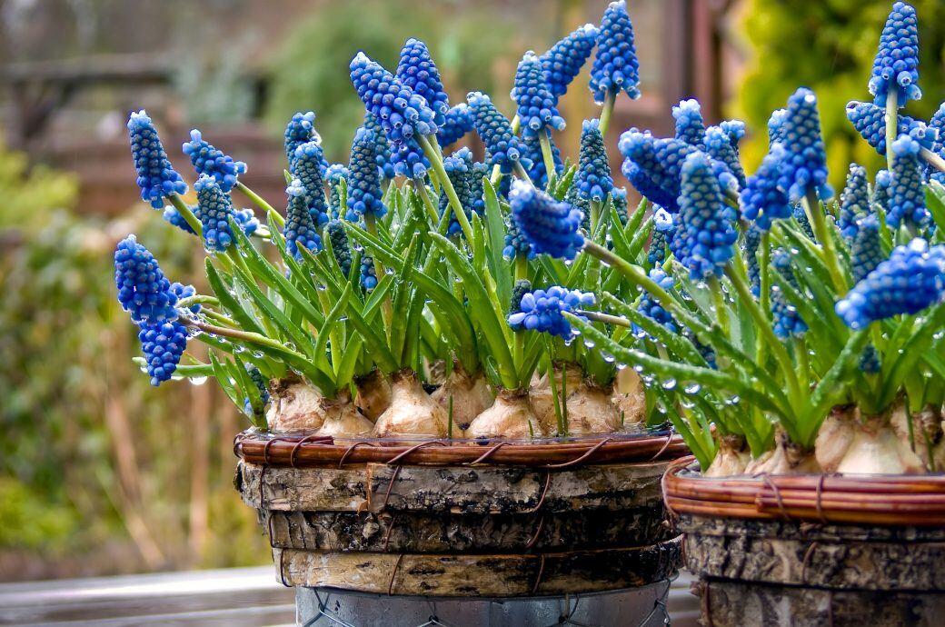 Unter welchen Voraussetzungen man Frühlingsblüher im Topf pflanzen kann
