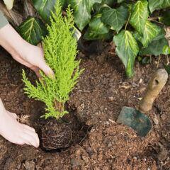 Gehölze im Herbst oder im Frühjahr pflanzen?