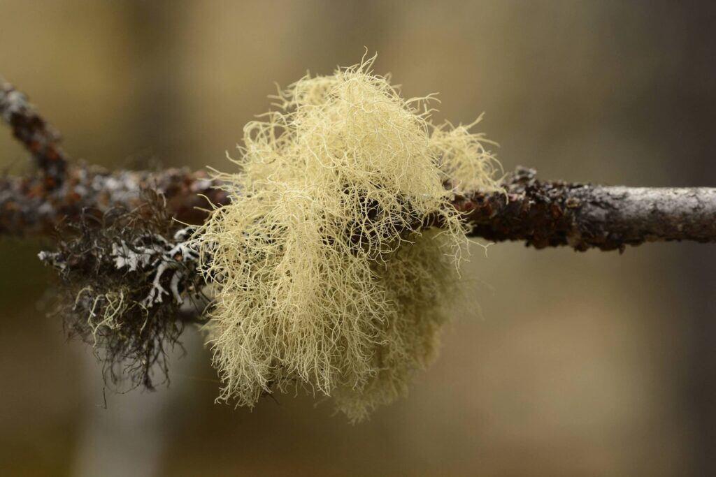 Bartflechte an einem Ast