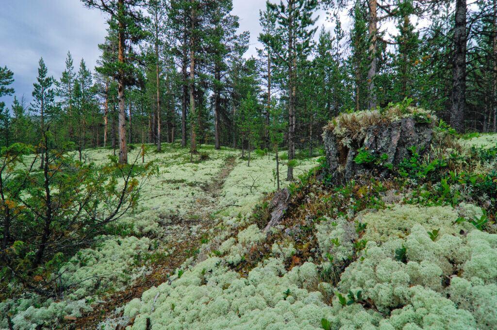 Rentierflechte in einem lichten Wald