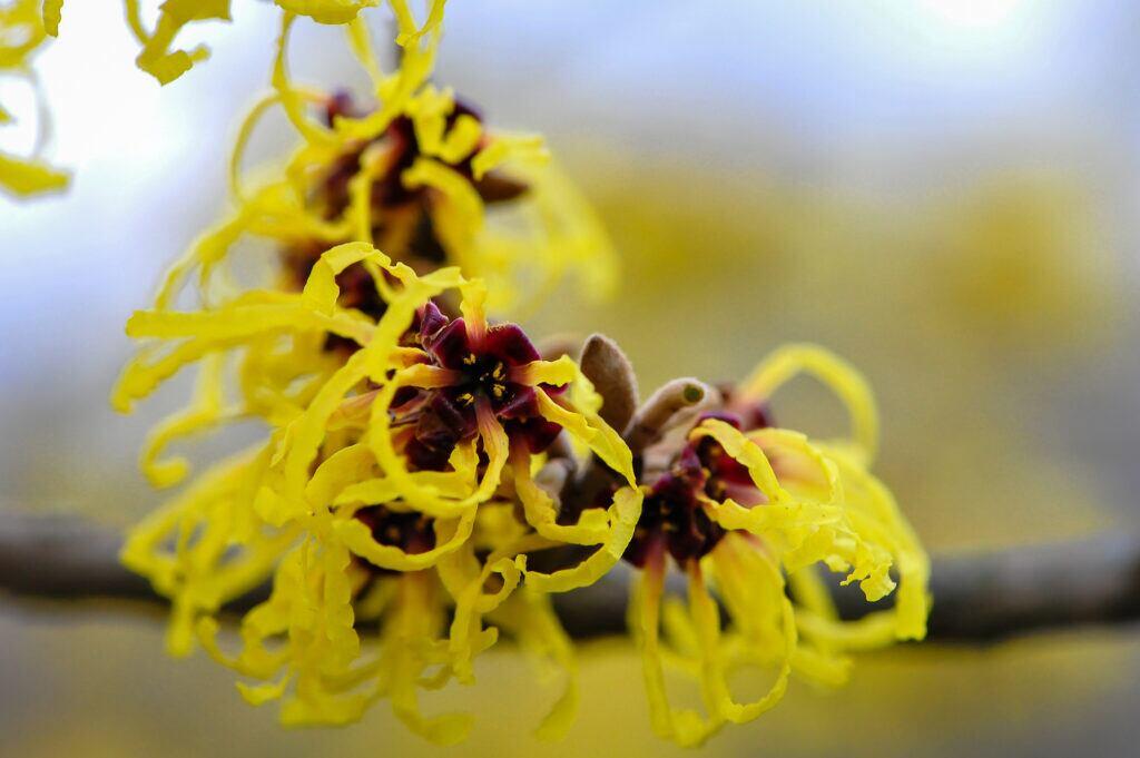 Blüten der Zaubernuss