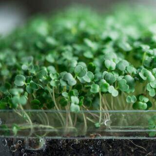 Microgreens – Superfood für den Winter