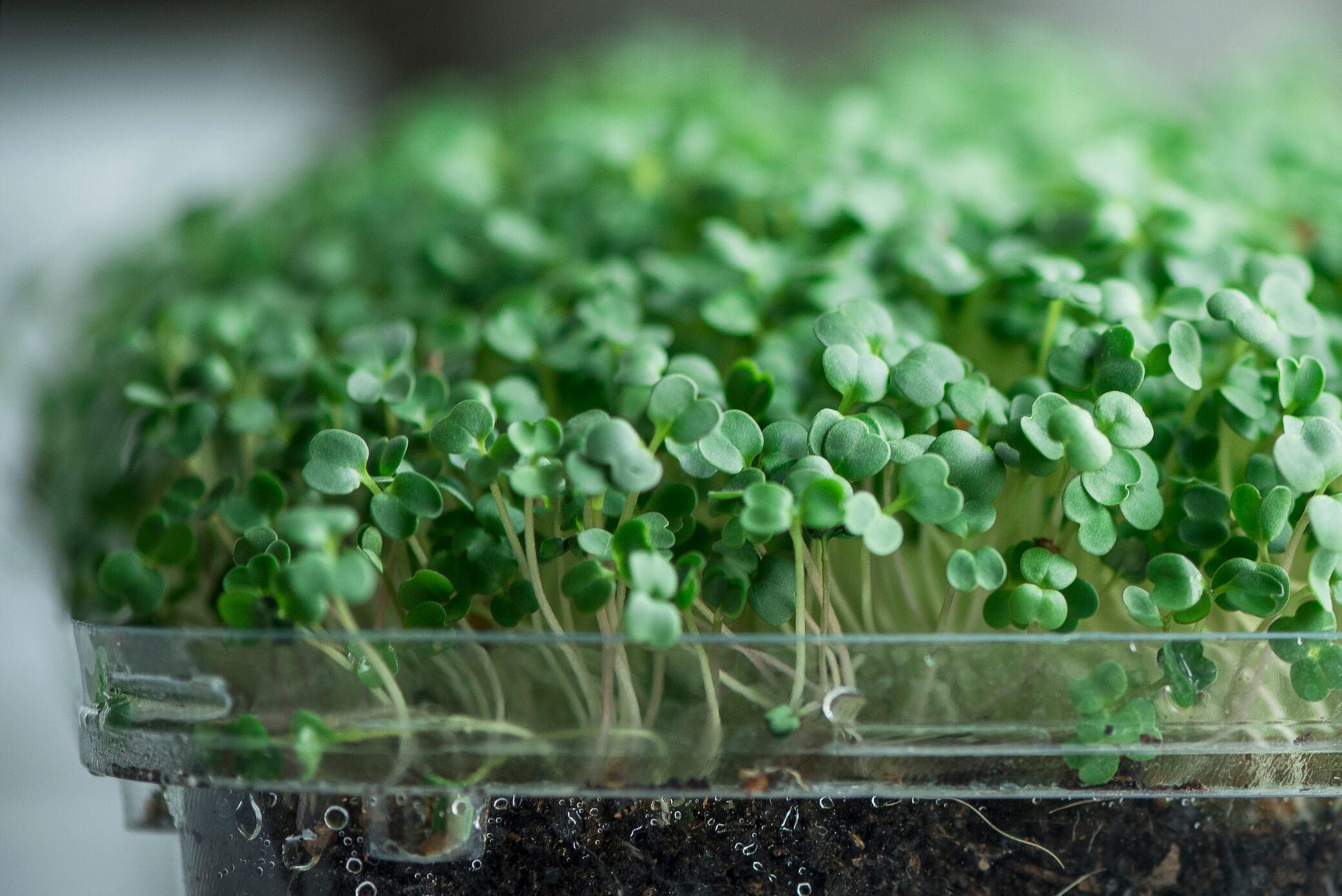 Ganz einfach Microgreens selber anbauen