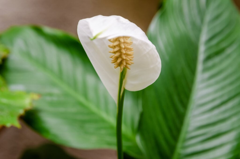 Einblatt als Büropflanze