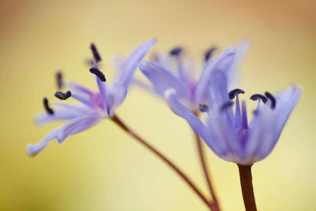 Sternhyazinthe als Winterpflanze für draußen