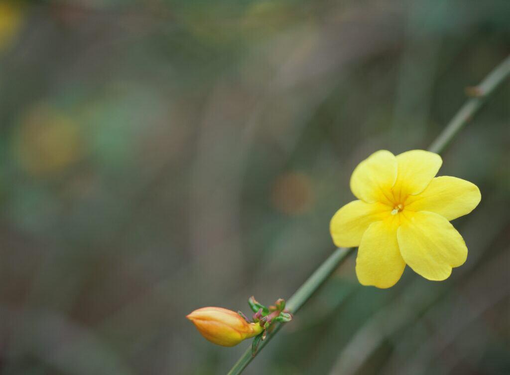 Gelber Winterjasmin eignet sich im Winter für draußen