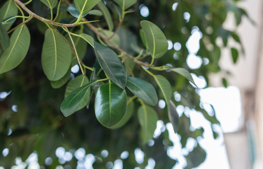 Der Ficus ist eine beliebte Büropflanze
