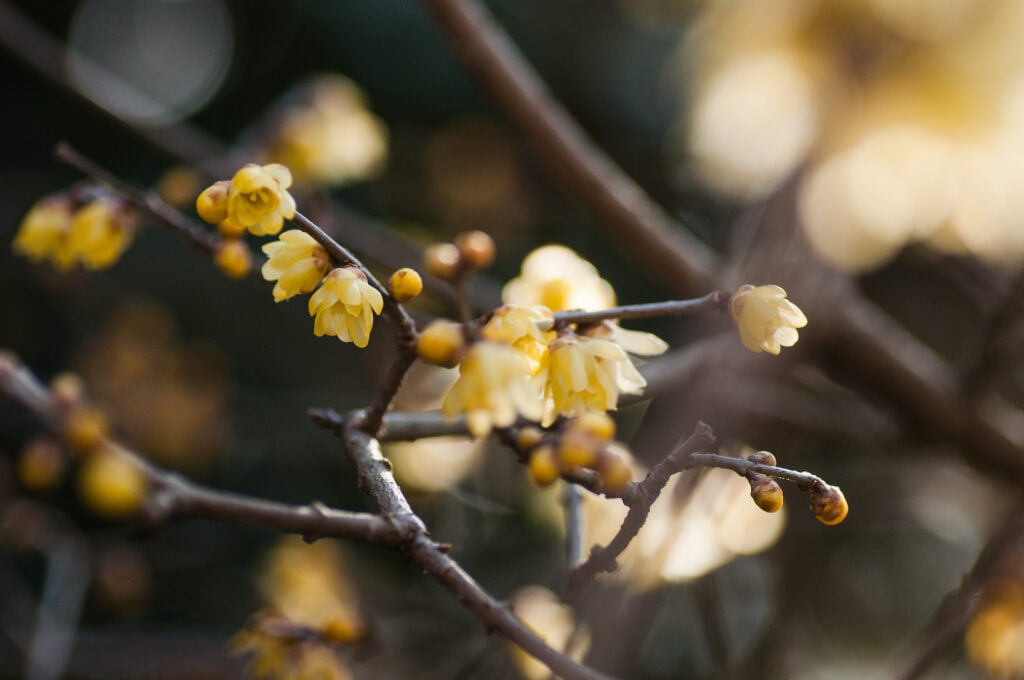 Chinesische Winterblüte für draußen