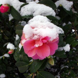 Kamelien vor Winterschäden schützen: Schnee auf einer Kamelienblüte