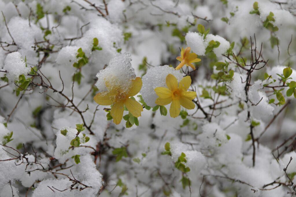 Winterjasmin im Garten anpflanzen im Januar