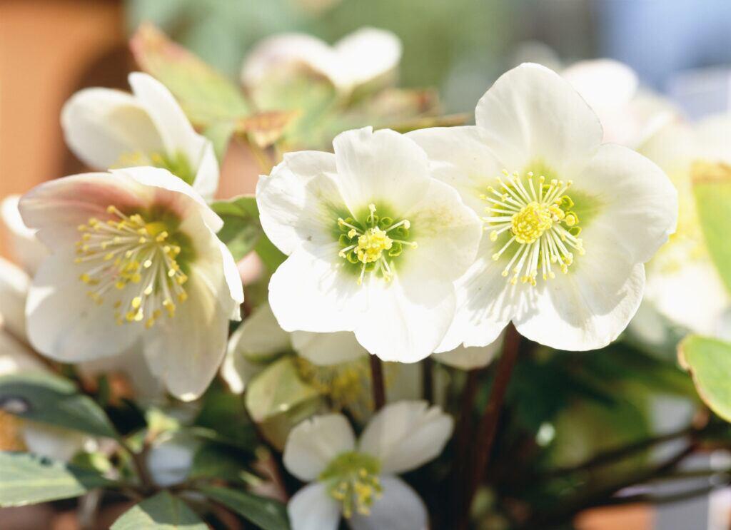 Christrose als Winterpflanze für draußen