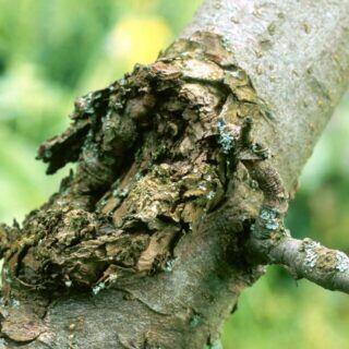 Obstbaumkrebs macht hässliche Auswulstungen an der Baumrinde