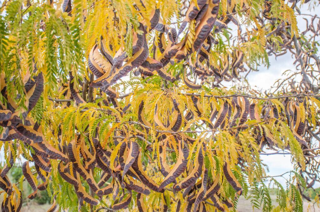 Der Lederhülsenbaum mit duftenden Blüten und Hülsenfrüchten
