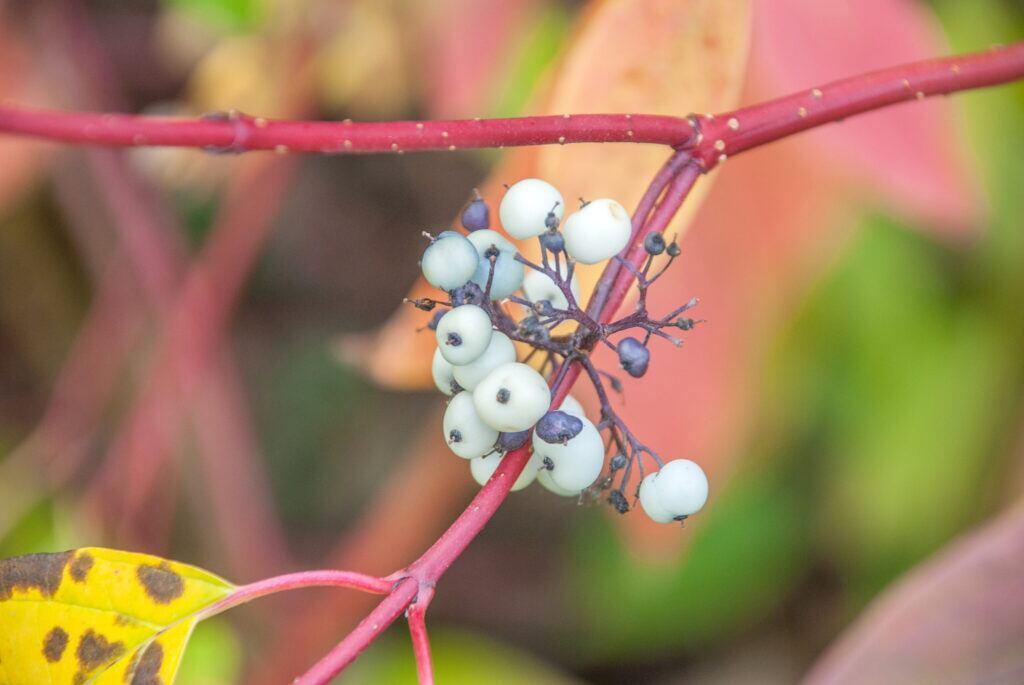 Der Hartriegel mit roten Zweigen, bunten Blättern und Früchten