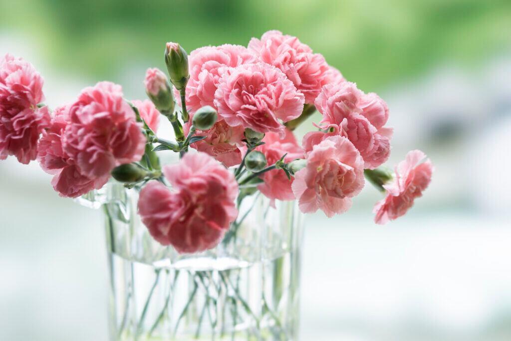 Nelke – die Geburtsblume des Monats Januar