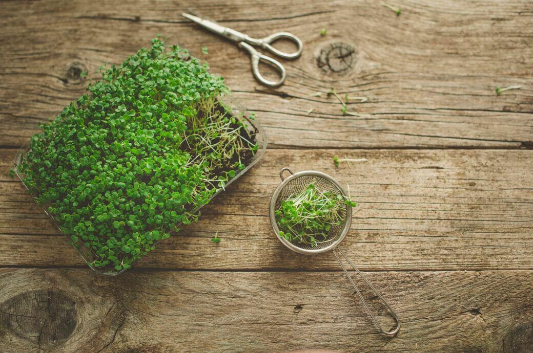 Microgreens wie Kresse, Klee, Sprossen oder Keimlinge selbst ziehen