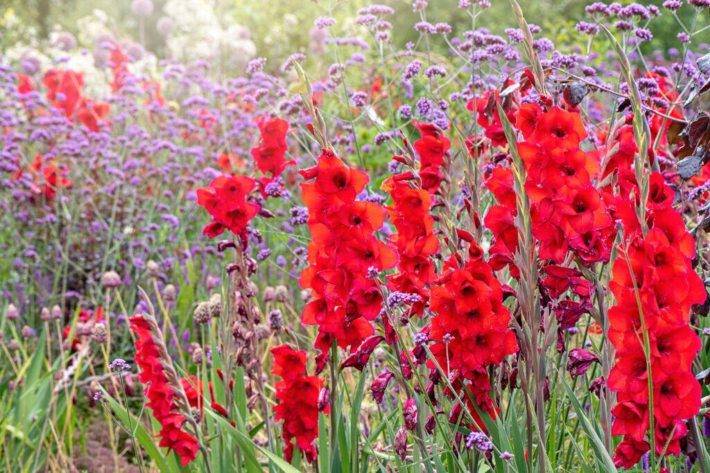 Gladiole – die Geburtsblume des Monats August