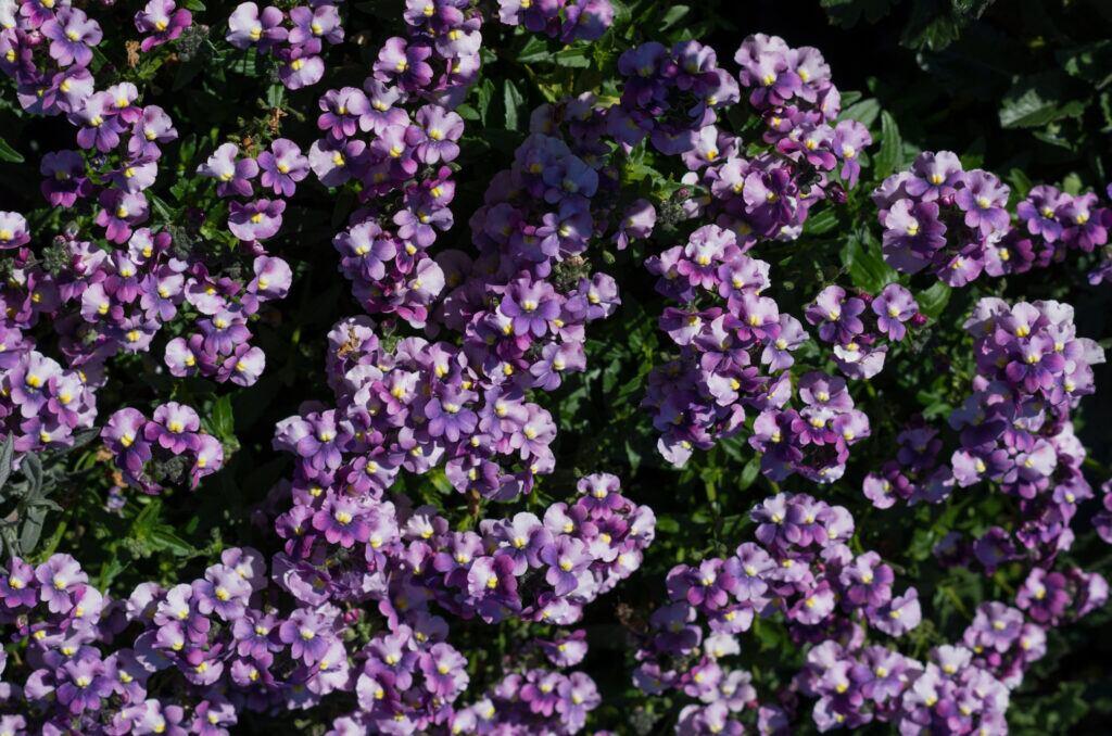 Elfenspiegel kommt als Gartenpflanze zurück und liegt im Trend