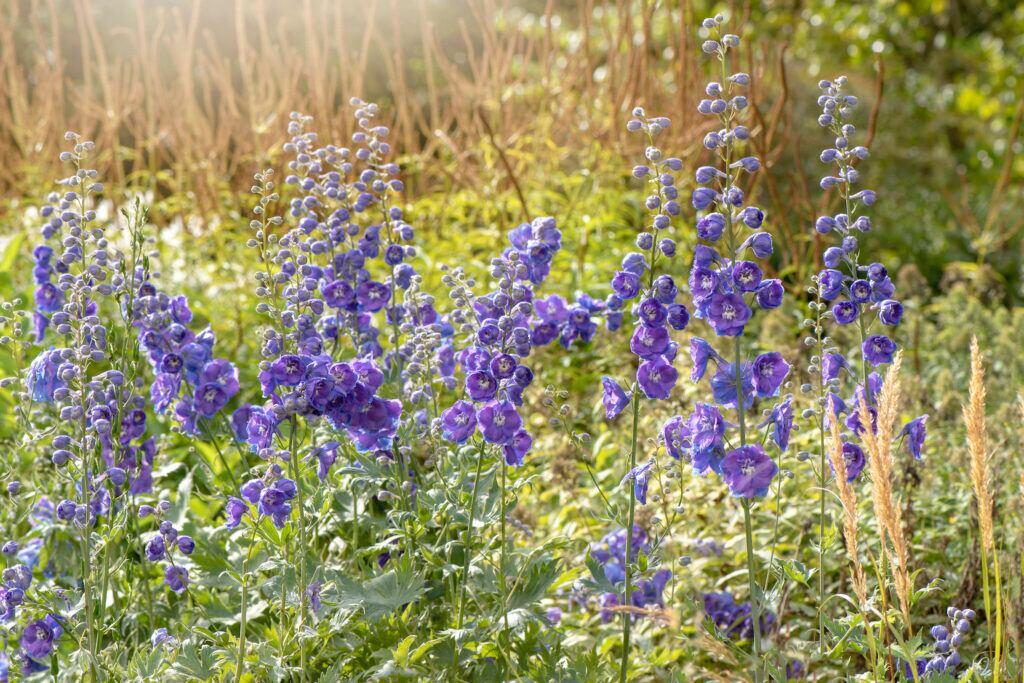 Rittersporn – die Geburtsblume des Monats Juli