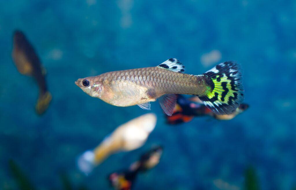 Guppy Aquarium