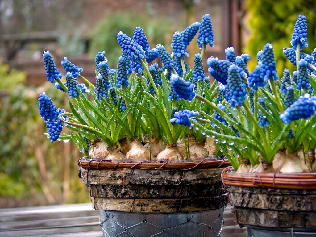 Traubenhyazinthe für farbliche Akzente im Garten im Winter