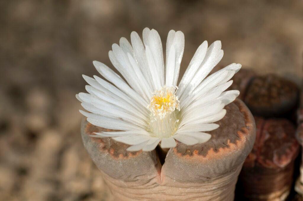 Lebende Steine können auch blühen