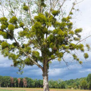 Misteln unbedingt aus Obstbäumen entfernen