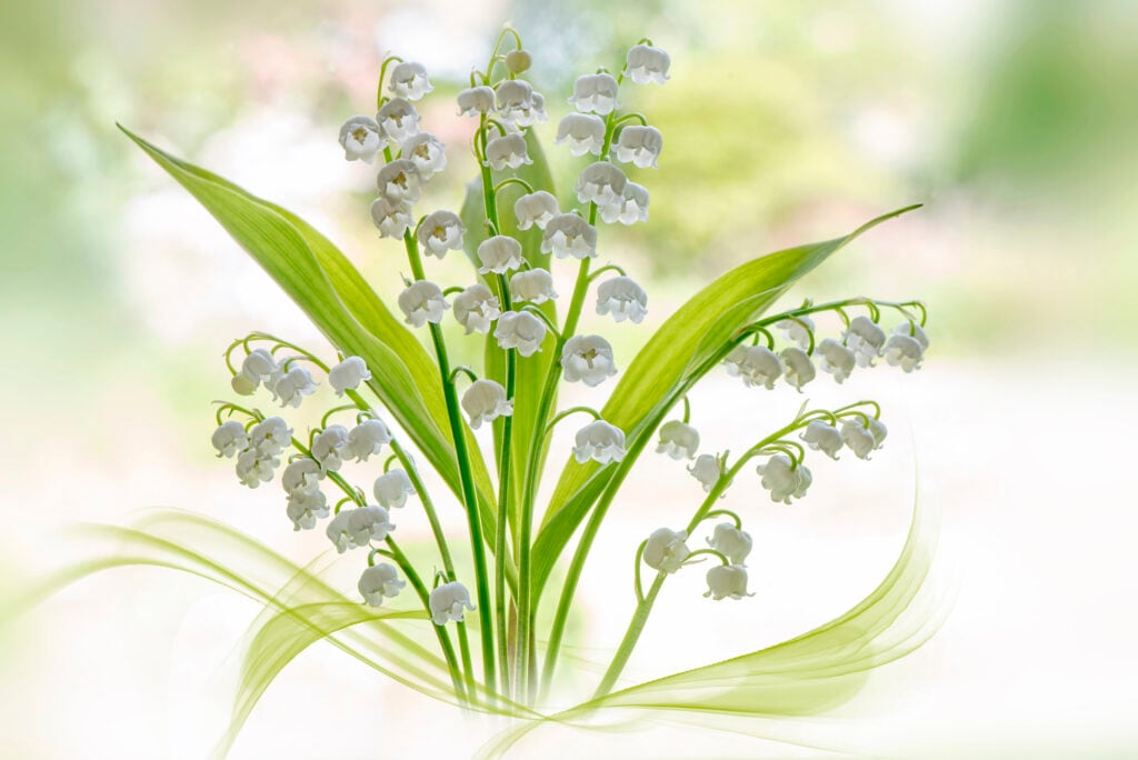 Maiglöckchen – die Geburtsblume des Monats Mai