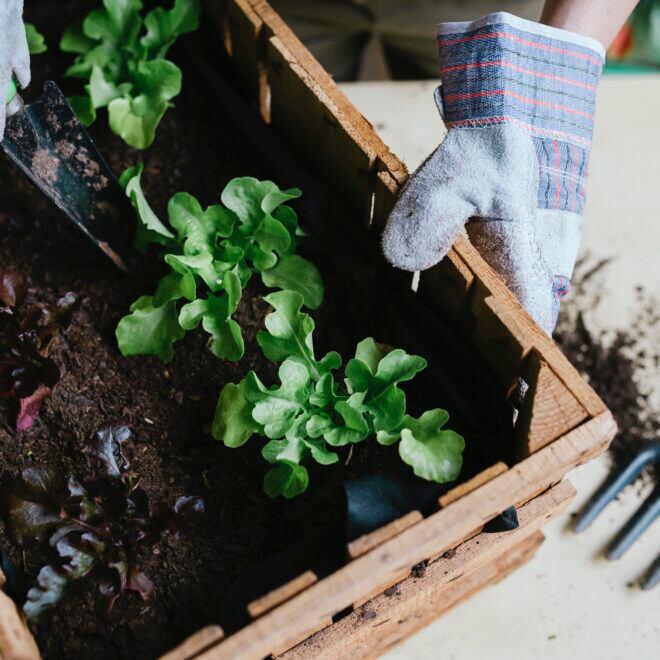 Urban Gardening zu Hause oder im Garten mit Frühbeetkästen