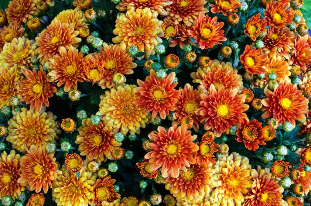 Chrysanthemen ist die Blume des Novembers