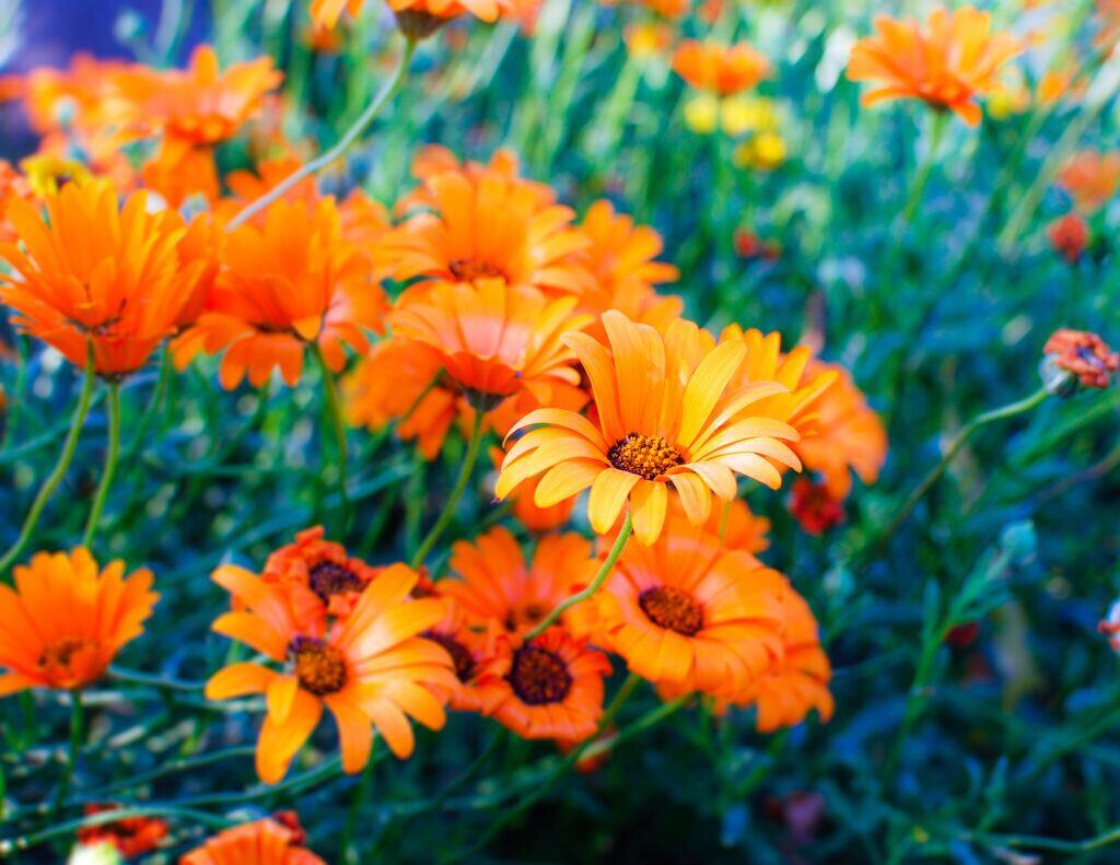 Ringelblume ist die Blume des Oktobers